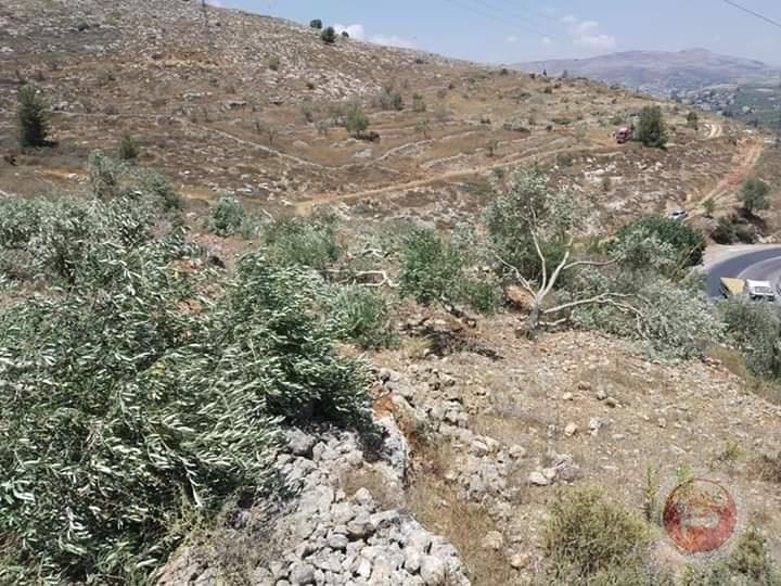الاحتلال يقطع عشرات أشجار الزيتون في ياسوف