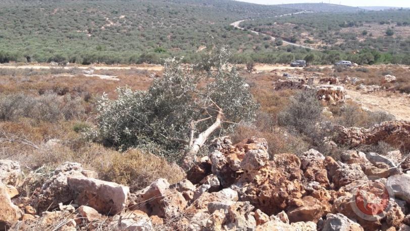 صور- الاحتلال يقتلع 200 شجرة زيتون في سلفيت