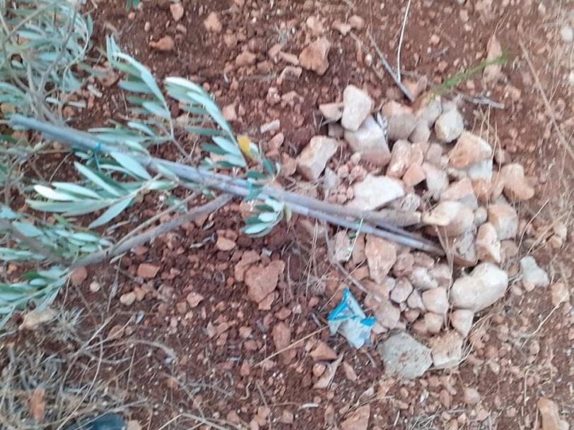مستوطنون يقتلعون 15 شجرة زيتون غرب سلفيت