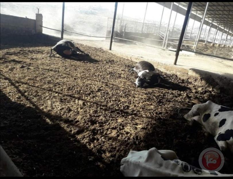 مقتل 49 بقرة على يد 6 مسلحين بالخليل