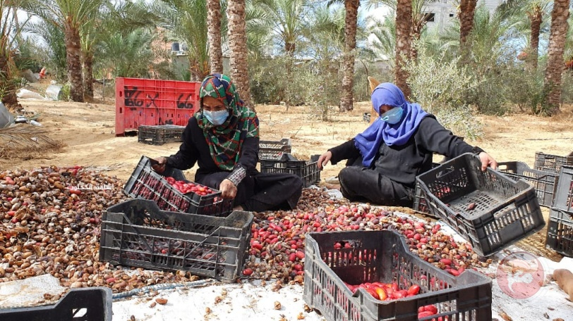 بالصور- غزة تحصد ثمار 150 الف نخلة