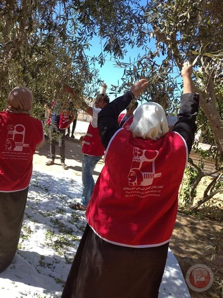 المنظمات الجماهيرية للديمقراطية تنظم حملات تطوعية لجني الزيتون في رفح وبيت حانون