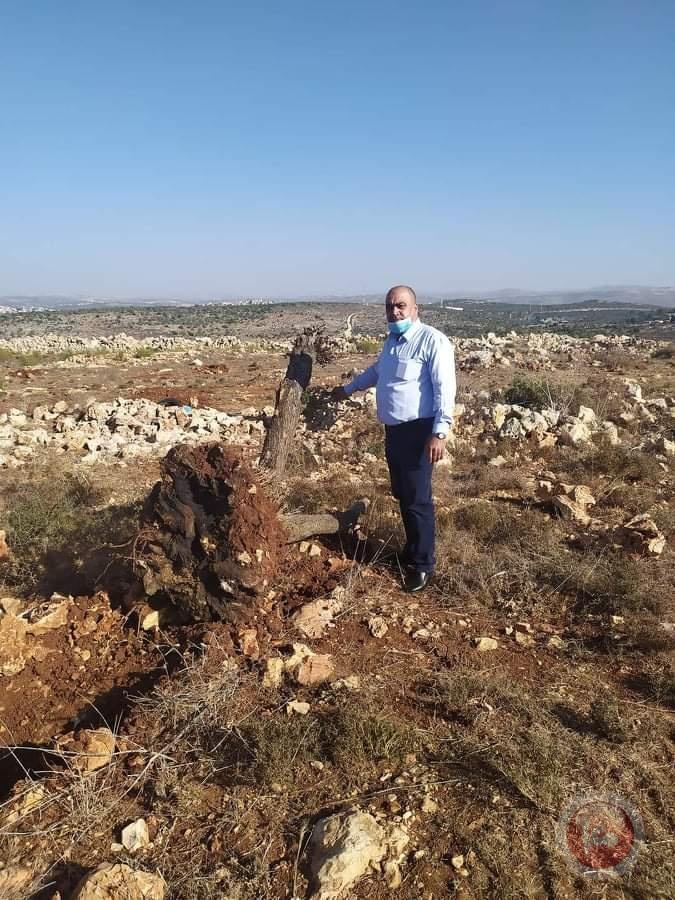 صور- الاحتلال يقتلع اشجار زيتون معمرة في سلفيت