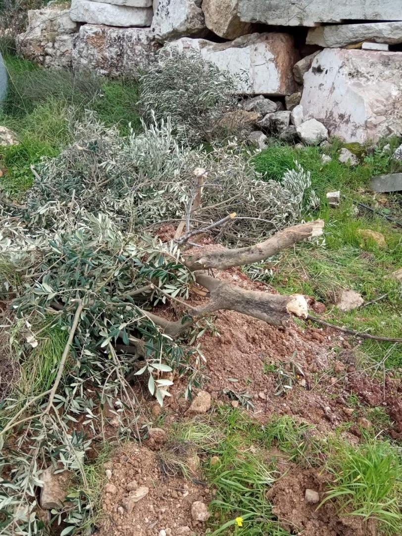 الاحتلال يجرف اراض ويقتلع عشرات أشجار الزيتون في بيت أمر