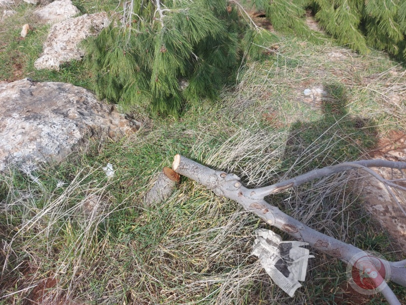 صور- الاحتلال يدمر آلاف الأشجار الحرجية والزيتون في الاغوار