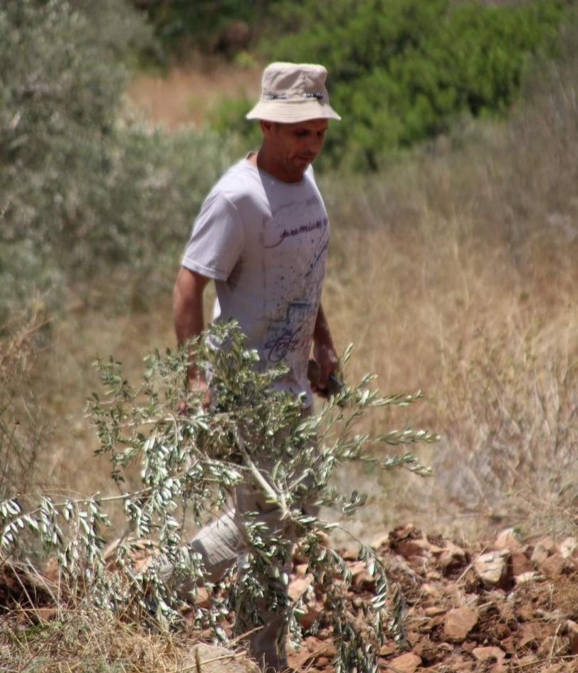 تجريف أراض واقتلاع عشرات أشجار الزيتون غرب سلفيت