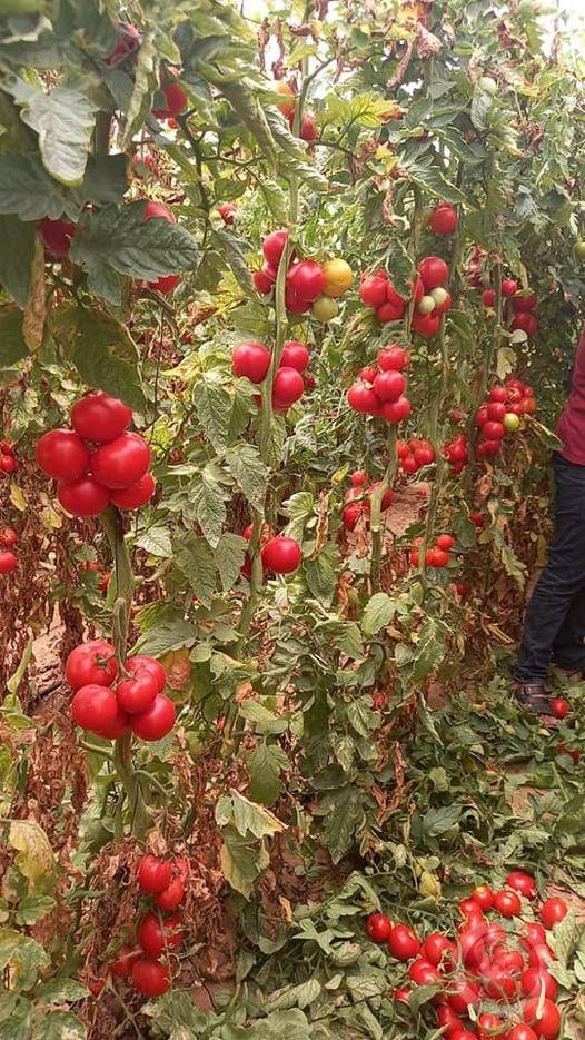 مزارعو غزة يتوقفون عن تسويق الخضروات للضفة بشكل كامل