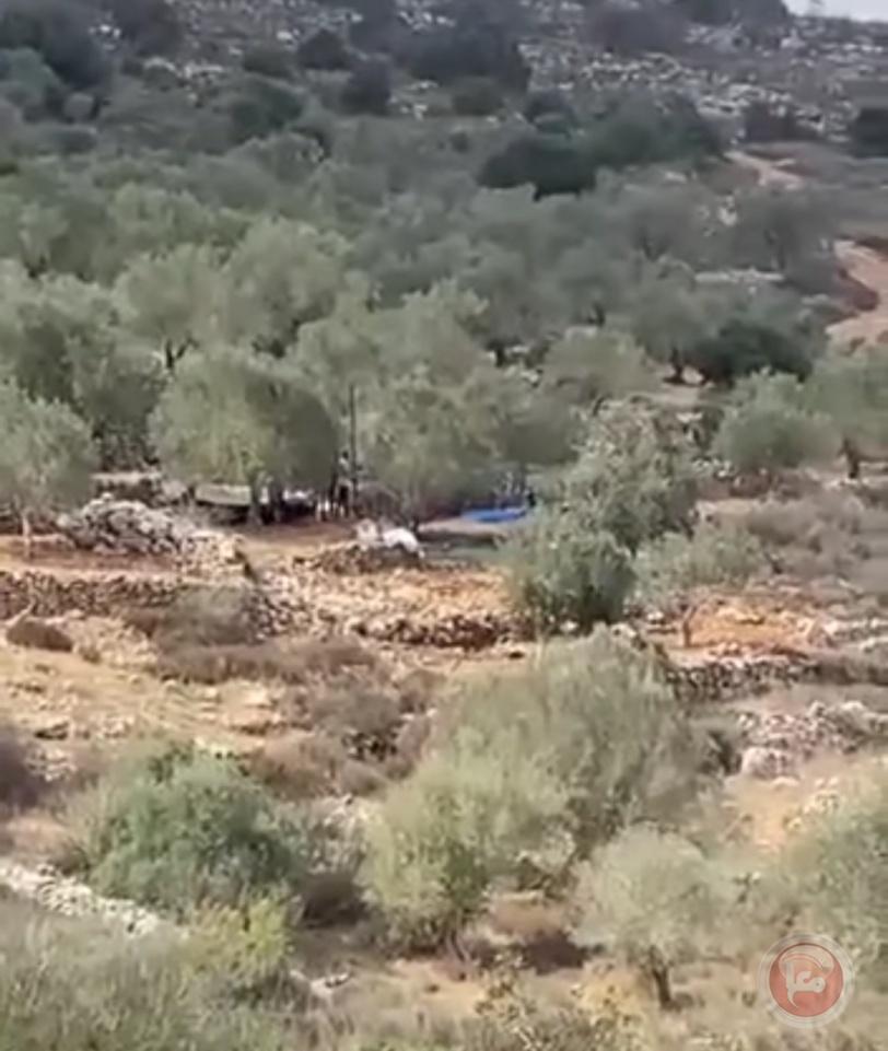 مستوطنون يسرقون ثمار الزيتون في سلفيت