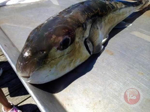 """""""سمكة الارنب"""" تخدع الصيادين بغزة"""