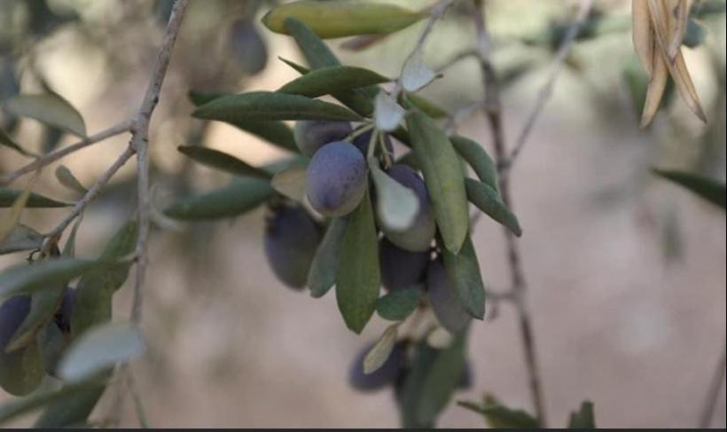 إسرائيل: إجراءات لتمكين المزارعين في الضفة من قطف الزيتون