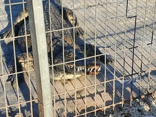 (شاهد) تمساح يهاجم طفلا من يافا