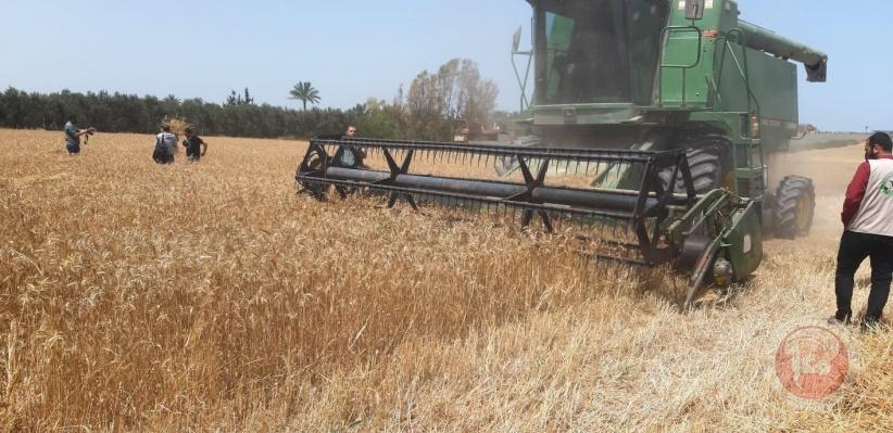 الزراعة بغزة تفتتح موسم حصاد القمح للعام 2020-2021