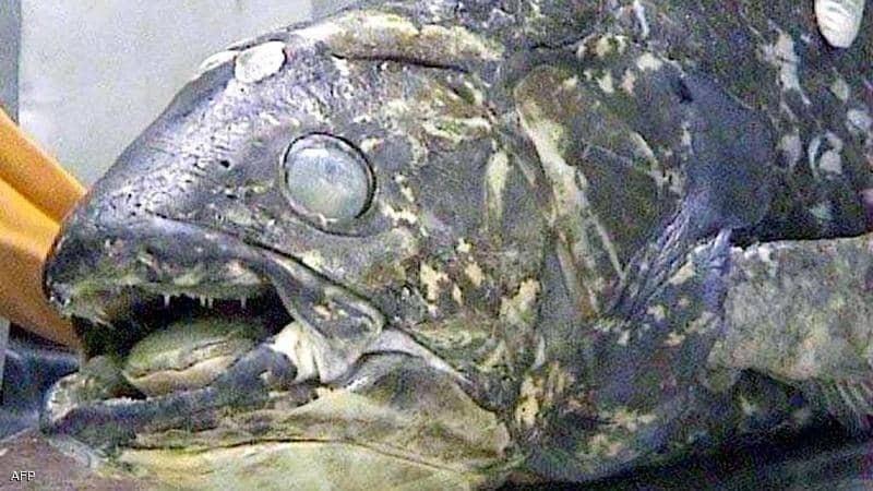 """""""سمكة مذهلة"""" عمرها 100 عام.. وفترة حملها 5 سنوات"""