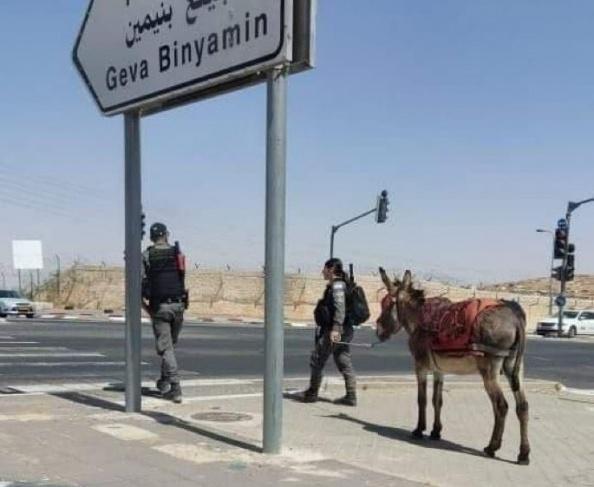 """الاحتلال يصادر حمارا لاستخدامه في أعمال """"مقاومة"""" (صور)"""