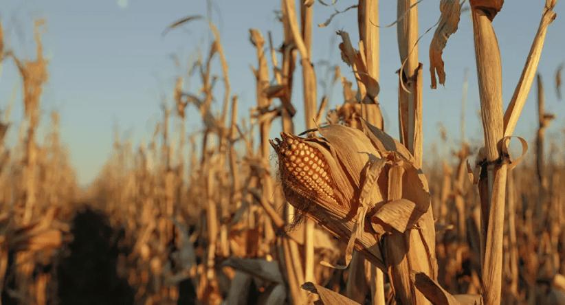 دراسة تكشف آثارا مفاجئة لتناول الذرة